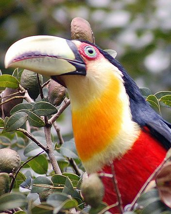 Green-billed or Red-breasted Toucan, Ramphastos dicolorus: Brazil, Paraguay, Argentina