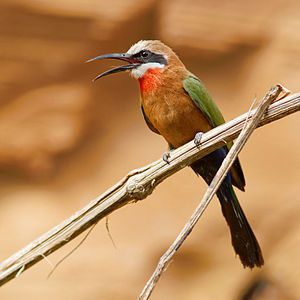 White Fronted Bee-Eater  They have a distinctive white forehead, a square tail and a bright red patch on their throat. They nest in small colonies, digging holes in cliffs or earthen banks but can usually be seen in low trees waiting for passing insects from which they hunt either by making quick hawking flights or gliding down before hovering briefly to catch insects.
