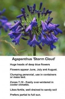 How To Grow and Care For Agapanthus: Blue African Lily of the Nile -