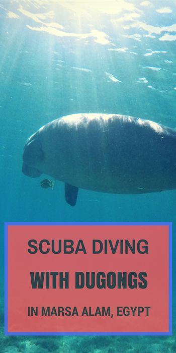 It's on your scuba bucket list right? To dive with the mighty Dugong? Well, you just might be able to tick that one off if you head over to Marsa Alam in Egypt!