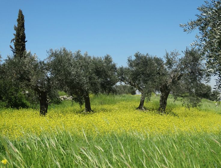 Four olive trees in spring.