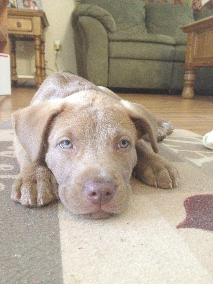 Ahh Pitbull Mix Puppy Los Angeles Labradorpuppylosangeles