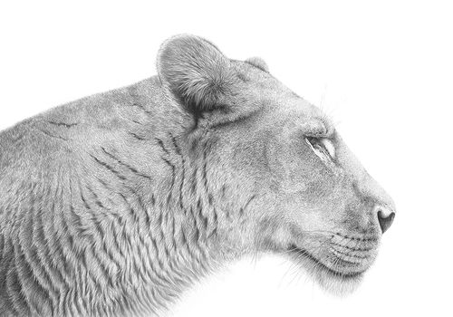 Sabari the Lioness by Andrew Howells
