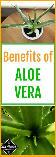 The health benefits of aloe vera go beyond sunburns. You can also benefit from consuming it. Try planting this miraculous plant indoors or in your garden.