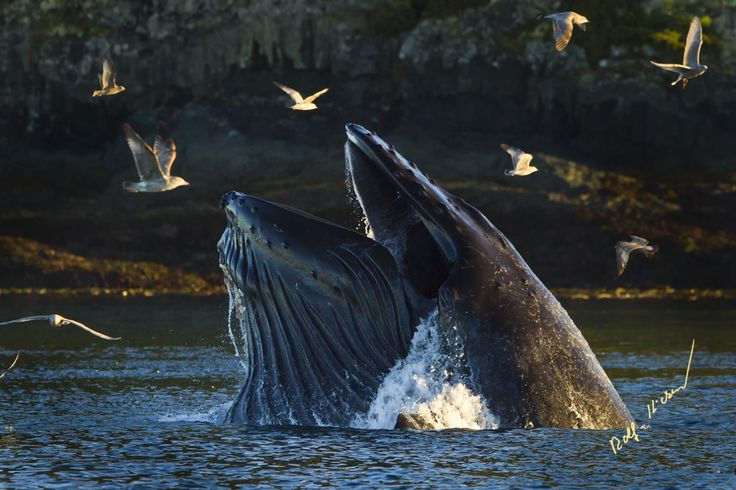 Feeding humpback whale in Knight Inlet, British Columbia © Rolf Hicker Photography and Vancouver Island Photo Tours http://vancouverislandtours.info