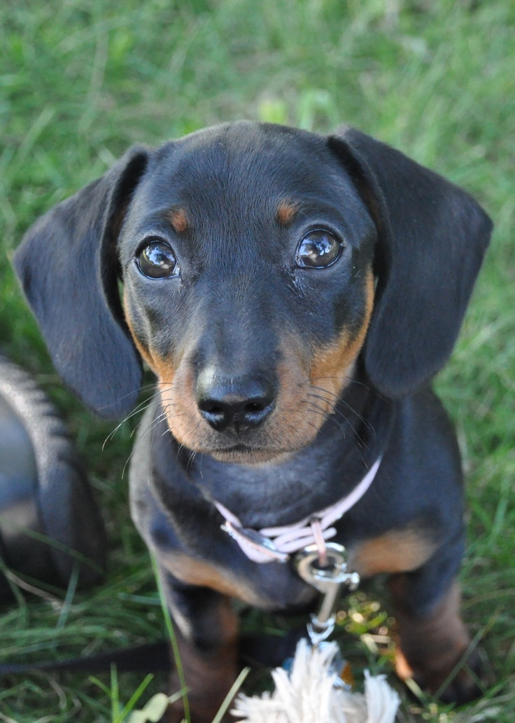 Mini dachsund, Lily :): Weinie Dogs, Dogs Dogs, Dachshund Dog Doxie, Doggie Stuff, Doxie 3, Wonderful Dogs, Baby Molly, Long Dogs, Dogs Life