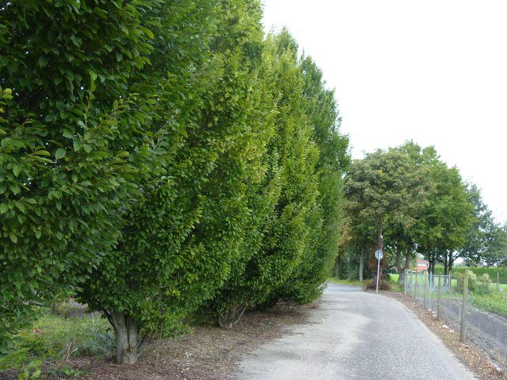 Wenn Sie eine neue Hecke planen, probieren Sie doch mal eine Grundstücksbegrenzung aus kleinen Bäumen. So sichern Sie sich einen Blickfang und sind trotz alledem vor Blicken und Wind geschützt.