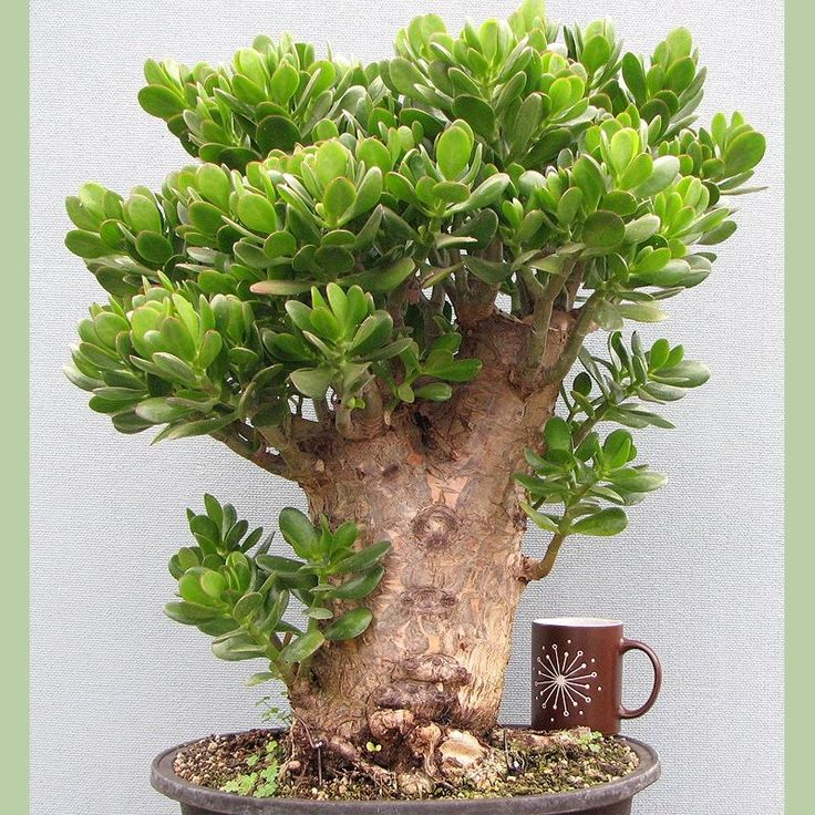 "Jade Plant. This plant is considered a succulent. It promotes prosperity, good luck and abundance! You should only water it once every two weeks. They don't like direct sunlight so keep them out of the sun. Oh, and don't forget to put your Jade Plant it in the back left corner of the room it's located in. This spot is considered the ""Wealth"" spot"