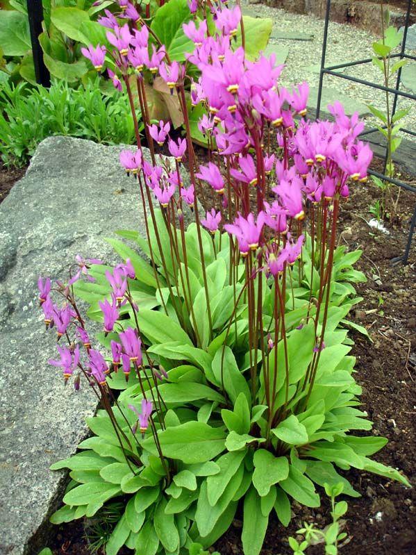 Tankar om och från min trädgård.: Tolvgudablomma - Dodecatheon - frösådd