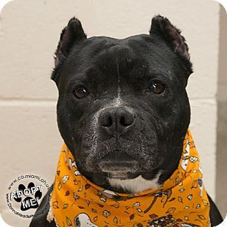 Troy, OH - Pit Bull Terrier. Meet Lexi, a dog for adoption. http://www.adoptapet.com/pet/16905876-troy-ohio-pit-bull-terrier