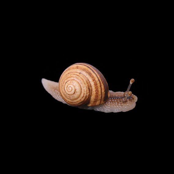 Banded Snail Pin Brooch