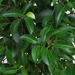 13. Наташа, Экзотика компакта, Natasha, Kaethi, Exotica Compacta — карликовый сорт с зелеными листьями: