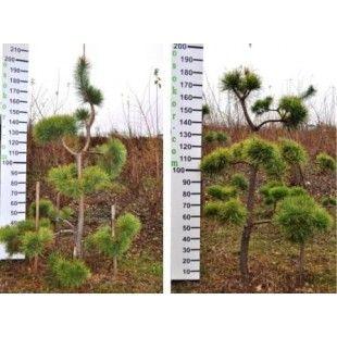 """Сосна обычная Бонсай """"Ниваки""""- Pinus Sylvestris """"Niwaki"""""""