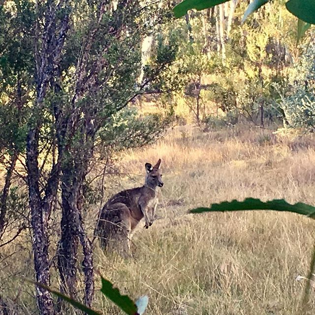 """One of our """"residents"""" having an afternoon snack ;-) .   Ready to meet her? .   Book your bushland getaway on the western slopes of the Blue Mountains today! (See the Link in our Profile)   #secretvalleyescape #bluemountains #hottubsinthebush #explore_bluemountains #lostmtns #ig_bluemountains #bluemountainsadventures #littlehartley #newsouthwales #hikeaustralia #bluemtsaus #kanimblavalley #romanticgetaway"""