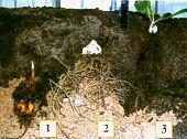 Глубина посадки лилий:  1 - крупные  Трубчатые гибриды;  2 - крупные  Азиатские гибриды и мелкие Трубчатые гибриды; 3 - не имеющие  надлуковичных корней лилия белоснежная и ее гибриды