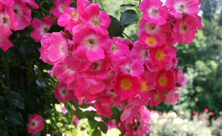 5 Experten-Tipps für die Rosenpflege -  Pflanzen, schneiden, düngen: Damit Rosen jeden Sommer reichlich blühen, brauchen sie eine gute Pflege. Wir haben die fünf wichtigsten Pflegetipps für Sie zusammengestellt.