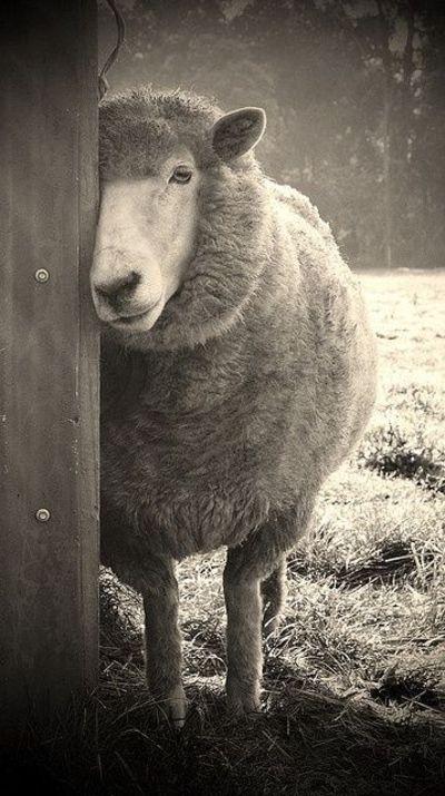 Sheepish photographed by Karena Goldfinch. via flickriver