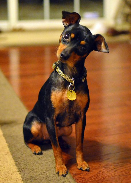 miniature pinscher.  want one sooo bad.  Looks like a mini Doberman  :)