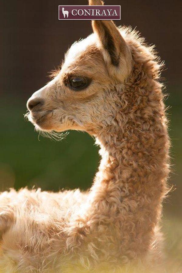 """You're looking how cute I look?"" Baby alpaca"