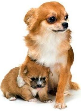 Long-haired chihuahua mom and baby