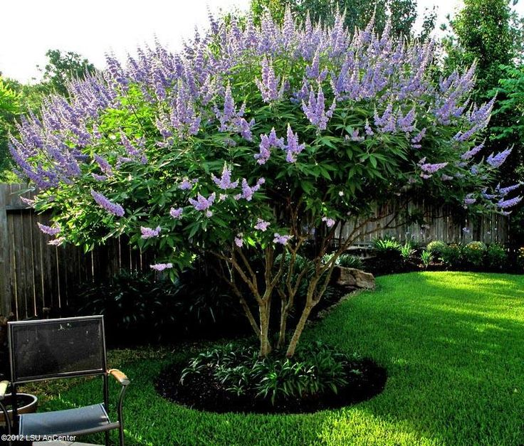 Vitex trained as small tree.  Louisiana Superplant.  Deciduous, flowering, large shrub or small tree. Full sun to part sun.  Grows 10-15' tall and wide.   Very drought tolerant once established