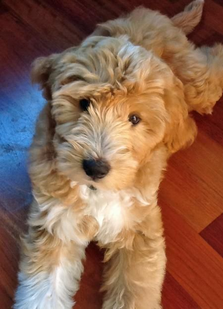Labradoodle puppy! My boyfriend doesn't know this but he's getting me two of these someday.