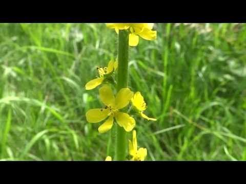 Repík lekársky – Agrimonia eupatoria L. | Ťaháky-referáty.sk
