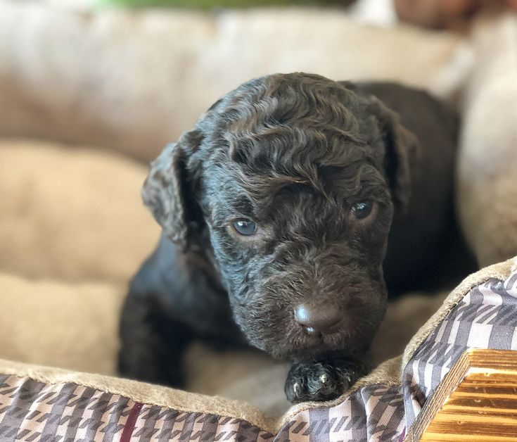 ReynaThe Schwandt Family Labradoodle puppies for sale