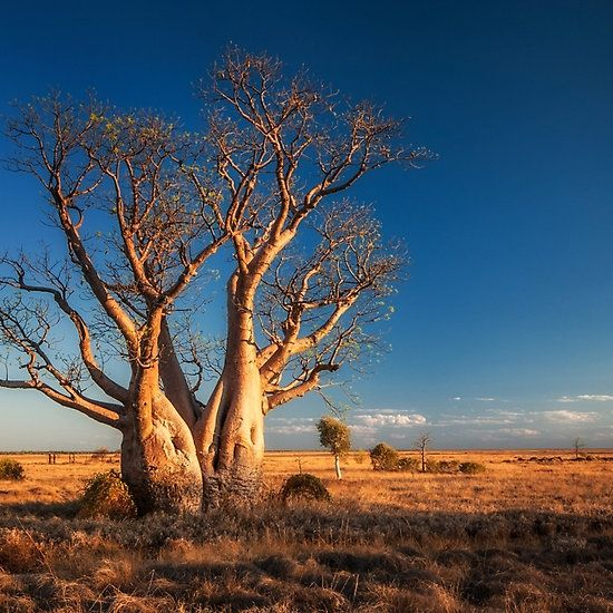 """""""An Old Kimberley Boab""""© Mieke Boynton.   An old boab tree near Derby, in the Kimberley, Western Australia.  Available from http://www.redbubble.com/people/miekeb/works/10943463-an-old-kimberley-boab"""