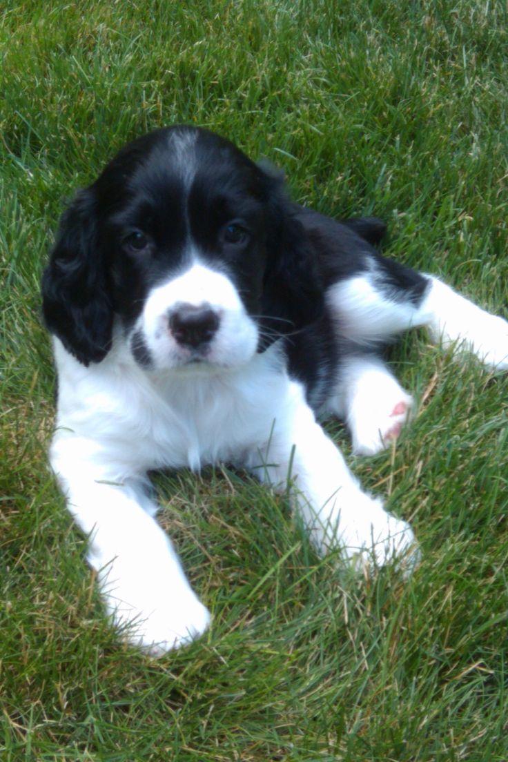 English Springer Spaniel Puppy! Best dog ever!