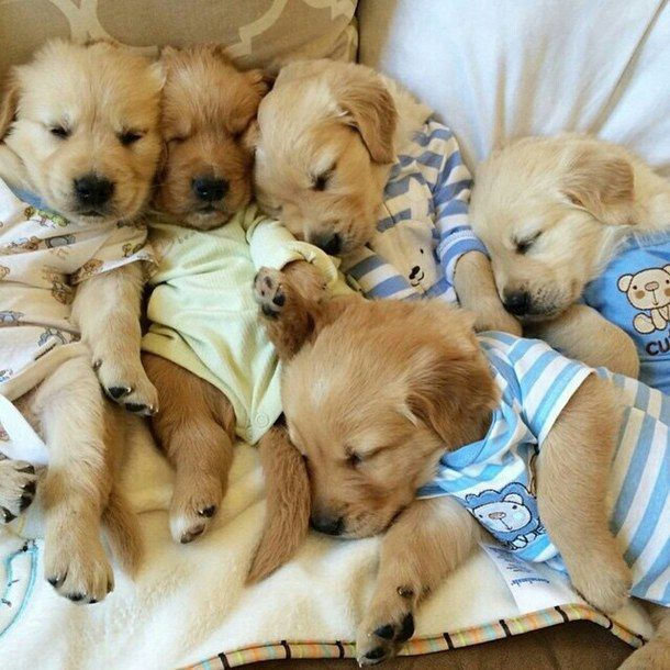 Golden Retriever Puppies In Pajamas Animals Babys Cute Dogs