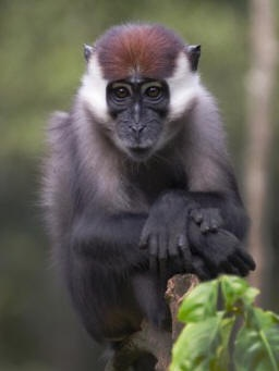 A rescued red-capped mangabey being rehabilitated at CERCOPAN's primate sanctuary in Nigeria. Find them on facebook or at www.cercopan.org