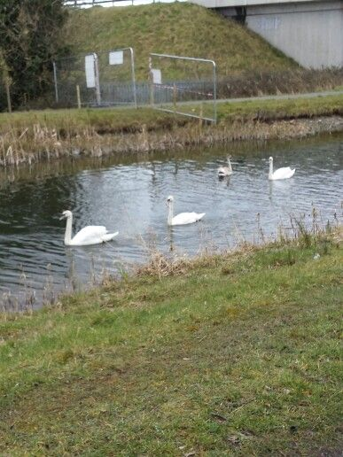 Swans on the canal.