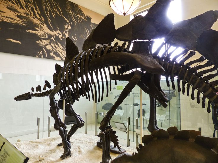Stegosaurus, American Museum of Natural History, New York, NY. © Mark Ryan