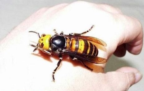 Japanese Giant Hornet.  When annoyed, will chase a perceived threat for up to 3 miles.