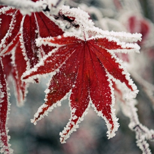 First Snow on Red Japanese Maple