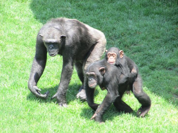 the #bioparc chimpanzee family outing, #valencia