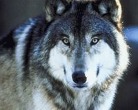 Wyoming: Don't Wipe Out Your Wolves Again! [petition] Wyoming is where wolves made a comeback thanks to the tireless efforts of wildlife managers to reintroduce the species. Now, the federal government has given the state carte blanche to essentially wipe them out again. Please sign and share this petition!