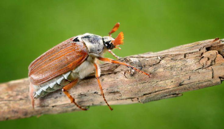 Engerlinge Die Kaferlarven Bestimmen Bekampfen Engerlinge Schadlinge Im Garten Tomaten Garten