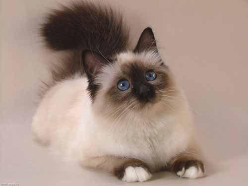 Бирманская кошка или Священная бирма — популярная порода полудлинношерстных кошек, родом из Мьянмы, появившаяся в результате скрещивания сиамских и...