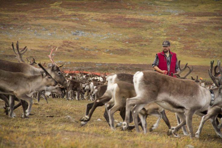 Auf einer Recherche-Reise durch schwedisch Lappland treffe ich im Sarek Nationalpark den Rentierzüchter Kenneth Pittja und seinen Sohn Pavva. Ein besonderes und unvergessliches Ereignis, das Kälber...