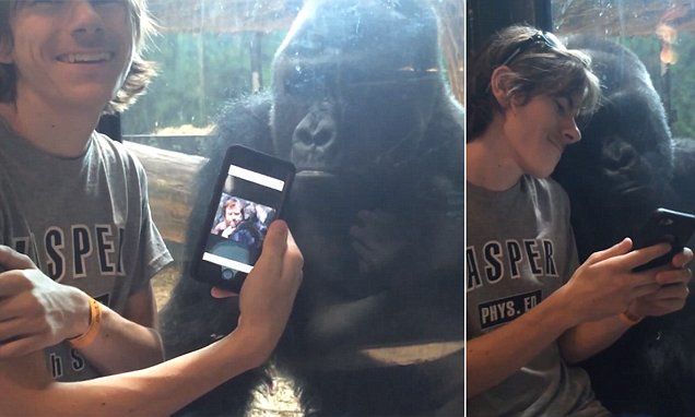 Gorilla watches man scroll through pictures of apes on his phone