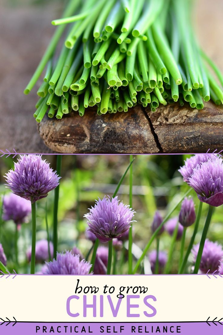 How To Grow Chives Chives Plant Chives Garden Growing Chives