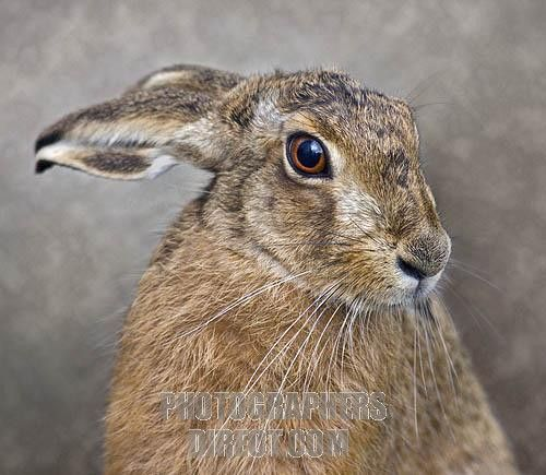 European Rabbit hare   European Hare ( lepus europaeus ) stock photo