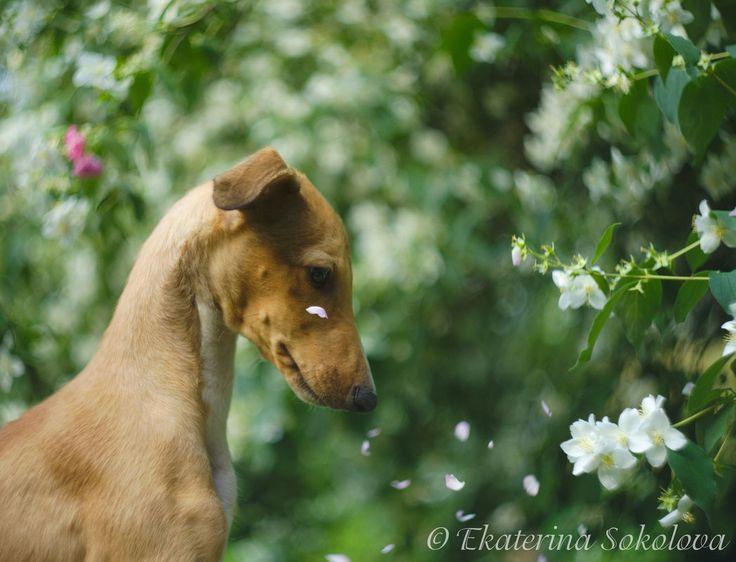 Greyhound puppy watching petals!