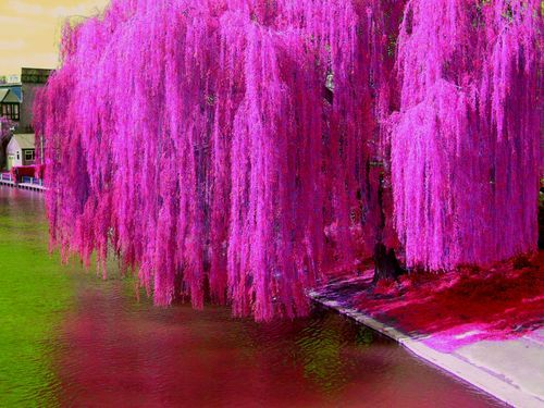 Weeping whispering willow Whispering Energizing Entertaining Proud Intelligent Noble Weeping Imaginative Landscape Life Ornamental WW