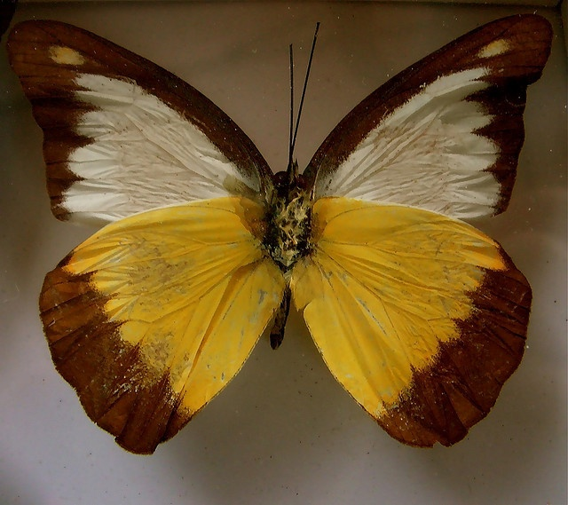 yellow and brown butterfly by SCVHA, via Flickr