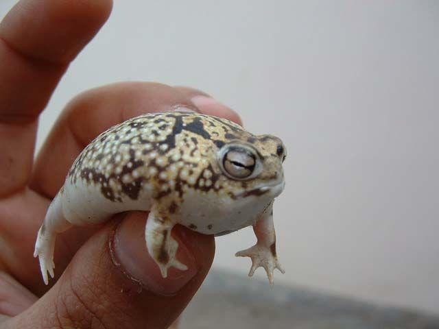 namaqua rain frog, Breviceps namaquensis (2)