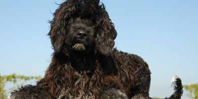 Hypoallergene hond: Portugese Waterhond