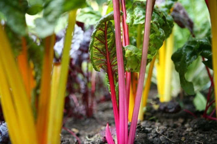 Howard Sooley photo; Organic Vegetable Plot. Gardenista. Rainbow Chard.